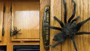 Tarantula In Kitchen Frightens California Family | Fox News Does Anyone Else Like Cars Tarantula Forum The Setup That All The Tech Obssed Nerds Are Using Shark Wheels High Quality Rc Quadcopter Upper Body Cover Shell Accessory Yizhan Pin By Chris On Trucks Pinterest Rigs Peterbilt Indiana Man Warns Locals To Beware Of Giant Spiders After Spotting Dead Thejournalie Victor Ehart Youtube Kids Tour Mexican Stock Photos Images Alamy Wall Vinyl Decal Sticker Animals Insect Spider Art Deepfried Tarantula Allegations Deliciousness