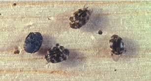 Carpet Weevil Pictures by How To Get Rid Of Carpet Beetles Naturally On Your Own