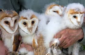 Escapes And Photography: Barn Owls And Owlets At Charlecote Park Chris Eastern Screech Owl Nest Box Cam For 2001 Three Cute Barn Owlets Getting Raised In Kodbakkam Chennai 077bojpg Needle Felted Owlet Baby Outdoor Alabama Escapes And Photography Owls Owlets At Charlecote Park Robin Loznak Barn Owls Oregon Overheated Chicks Rescued Hungry Project 132567 2568 2569 2570 The Wildlife Center Wallpaper Archives Trust Young Thrive On Harewood Estate House By Michael A Eccles