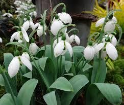 snowdrops for sale u s carolyn s shade gardens