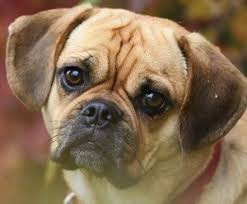 do pugs and puggles shed the about crossbred dogs