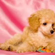 Quiet Small Non Shedding Dog Breeds by Small Calm Non Shedding Dog Breeds 100 Images Top 15 Cutest