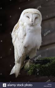 A Lovely Common Barn Owl, Also Known Simply As Barn Owl, Sleeping ... Common Barn Owl 4 Mounths In Front Of A White Background Stock Royalty Free Images Image 23603549 Known Photo 552016159 Shutterstock Owl Wikipedia 644550523 Mdc Discover Nature Tyto Alba Perched On A Falconers Arm At Daun Audubon Field Guide Mounths Lifeonwhite 10867839 Barnowl 1861 Best Owls Snowy Saw Whets Images Pinterest Photos Dreamstime