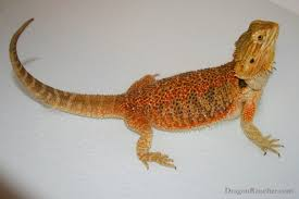 Bearded Dragon Shedding Process by Bearded Dragon Taming U0026 Body Language Tips Reptifiles