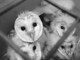 Baby Barn Owls In BW By Kayllik On DeviantArt Barn Owl Focus On Cservation Best 25 Baby Ideas On Pinterest Beautiful Owls Barn Steal The Show As Day Turns To Night At Heartwood Family Ties Owl Chicks Let Their Hungry Siblings Eat First The Perch Uncommon Banchi Baby Coastal Home Giftware From Horizon Stock Image Image Of Small Young Looking 3249391 You Know Birdnote Banding By Alex Lamoreaux Nemesis Bird
