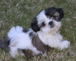 Non Shedding Dog Breeds Kid Friendly by Funny List Of Hypoallergenic Dogs With Pictures Dog Breeds Puppies