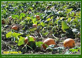 Best Pumpkin Patch In San Bernardino County by Pumpkin Patch In Calimesa A Place For Fun