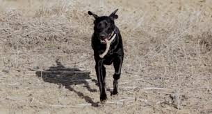 Blue Heeler Mix Shedding by Training My Dog To Shed Hunt U2013 Tips And Strategies For Training A