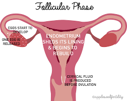 Thick Uterine Lining Shedding During Period by The Menstrual Cycle Appleseed Fertility