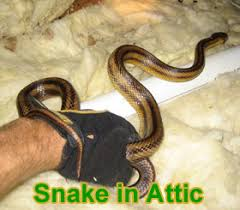 Snake Skin Shedding Frequency by Snakes In The Attic How Do You Get Snakes Out Of The Attic