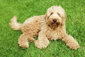 Cute Non Hypoallergenic Dogs by 10 Most Popular Hypoallergenic Dog Breeds U2013 Iheartdogs Com