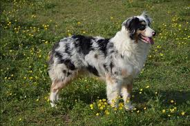Small Non Shedding Dogs Australia by Get To Know The Australian Shepherd Dog Breed Our Dogs And Us