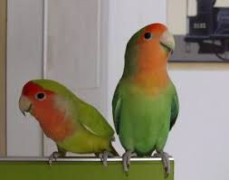 Parrot Caught Singing Bodies Hit The Floor by Your Bird U0027s Health Pet Birds By Lafeber Co
