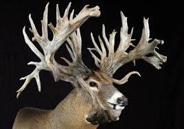 WOW Whitetail Deer Display