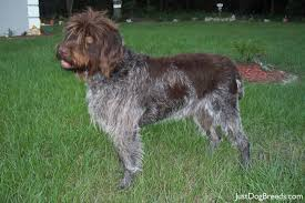 Griffon German Wirehaired Pointer Shedding by 28 German Wirehaired Pointing Griffon Shedding Wirehaired