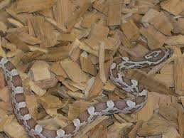 Corn Snake Shedding Time by Corn Snake Care Sheet From Tyrannosaurus Pets Leeds U0027 Leading