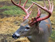 Moose Shedding Their Antlers by Minnesota Whitetail Deer Seasonal Patterns Fml Outdoors Com
