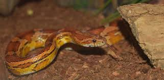 Ball Python Bedding by Corn Snake Substrate Options Reptifiles U0027 Corn Snake Care Guide