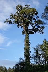 Christmas Tree Species Nz by Dacrydium Cupressinum Wikipedia