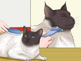 Siberian Cat Hair Shedding by 4 Ways To Prevent Matted Cat Hair Wikihow