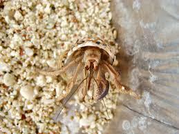 Halloween Hermit Crab by The Desert Chronicles Hermit Crabs Beware