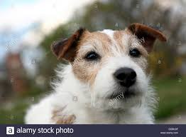 Berlin, Germany, A Jack Russell Terrier In Dog Walking Stock Photo ... Jack Russell Gracie Sold To Chris Dearmon Snow Creek 1813 Best Triers Images On Pinterest 743 Russell Long Haired Jack Trier Puppies For Sale In Kent Google The Russellcolbath Historic Homestead Site The White Mountains New Hampshire Kancamagus Highway Northern England Villages Cute Trier Dog On Stock Photo 574920391 Shutterstock Farm Photos Images Alamy Male Teacup Chihuajack Russellix Lantern Pictures Jackhua 1588