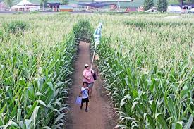 Pumpkin Picking Near Lancaster Pa by Here U0027s Your Guide To Amazing Corn Mazes In Lancaster County