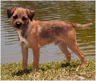 border terrier dog breed facts and traits hill s pet