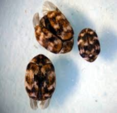 Carpet Weevil Pictures by Varied Carpet Beetles Are Stirring Kentucky Pest News