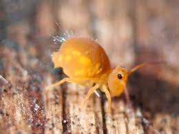 Kill Springtails In Bathroom by 40 Best Springtails Images On Pinterest Insects Bugs And Spiders