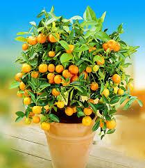 zitronen orangenbaum
