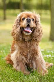 Do Brittany Spaniels Shed Hair by Top 25 Smartest Dog Breeds Most Intelligent Dog Rankings