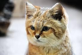 mountain cat cats the mountain cat kimcion