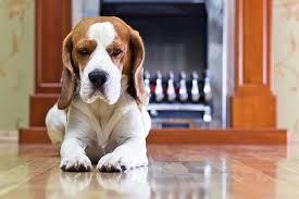why do dogs slip on hardwood floors cuteness