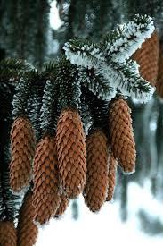 Christmas Tree Species by 246 Best Oak U0026 Pine Images On Pinterest Oak Leaves Pine Tree