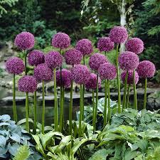 allium bulbs for sale buy flower bulbs in bulk save