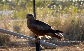 Hawk At Barkly Homestead