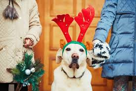 Are Christmas Trees Poisonous To Dogs Uk by Is Holly Poisonous To Dogs Cuteness