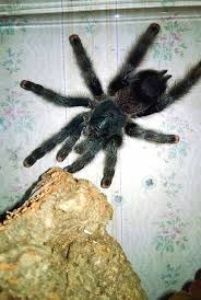 Pumpkin Patch Tarantula For Sale by 32 Best Tarantulas Images On Pinterest Spiders Insects And Scorpion