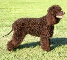 No Shedding Dog Breed by Non Shedding Dogs Low Shedding Dogs With Pictures