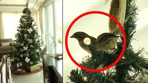 Fixing Christmas Tree Lights In Series by Family Have Their Own Festive Miracle As Bird Builds Nest In