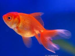 poisson eau douce aquarium tropical poissons pour débutant en aquarium définition