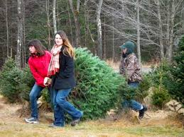 Christmas Tree Farm Near Lincoln Nh by Choose And Cut Your Own Christmas Tree At Mountain Star Farms
