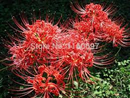 free shipping flower bulbs lycoris 2ball bag spider sementes