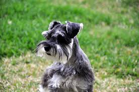 top 10 dog breeds that don t shed