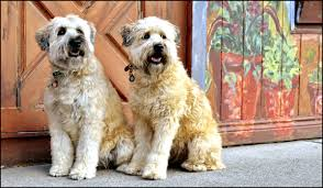 Do Irish Wheaten Terriers Shed by Know These Terrier Types Before You Make This Frisky Your Pet