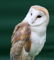 File:Tyto Alba Close Up.jpg - Wikimedia Commons Common Barn Owl 4 Mounths In Front Of A White Background Stock Royalty Free Images Image 23603549 Known Photo 552016159 Shutterstock Owl Wikipedia 644550523 Mdc Discover Nature Tyto Alba Perched On A Falconers Arm At Daun Audubon Field Guide Mounths Lifeonwhite 10867839 Barnowl 1861 Best Owls Snowy Saw Whets Images Pinterest Photos Dreamstime