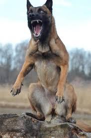 95 best belgian malinois images on pinterest german shepherd