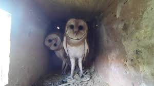 Barn Owls Nest Cam - YouTube Barn Owl Box Company Wildlife San Francisco Forest Alliance Food Lodging Owls See A Housing Boom In Walla Washington Audubon Best 25 Owls Ideas On Pinterest Beautiful Owl And Utah Nest Box 2 Youtube There Is Always One That Ruins Family Picture Trio Family Ties Chicks Let Their Hungry Siblings Eat First Texas 2017 Update All About Birds Bring Up Baby How Barn Do It Help Clean Up Rodents Naturally Green Blog Anr Blogs