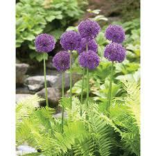 shop 10 count allium purple sensation bulbs at lowes
